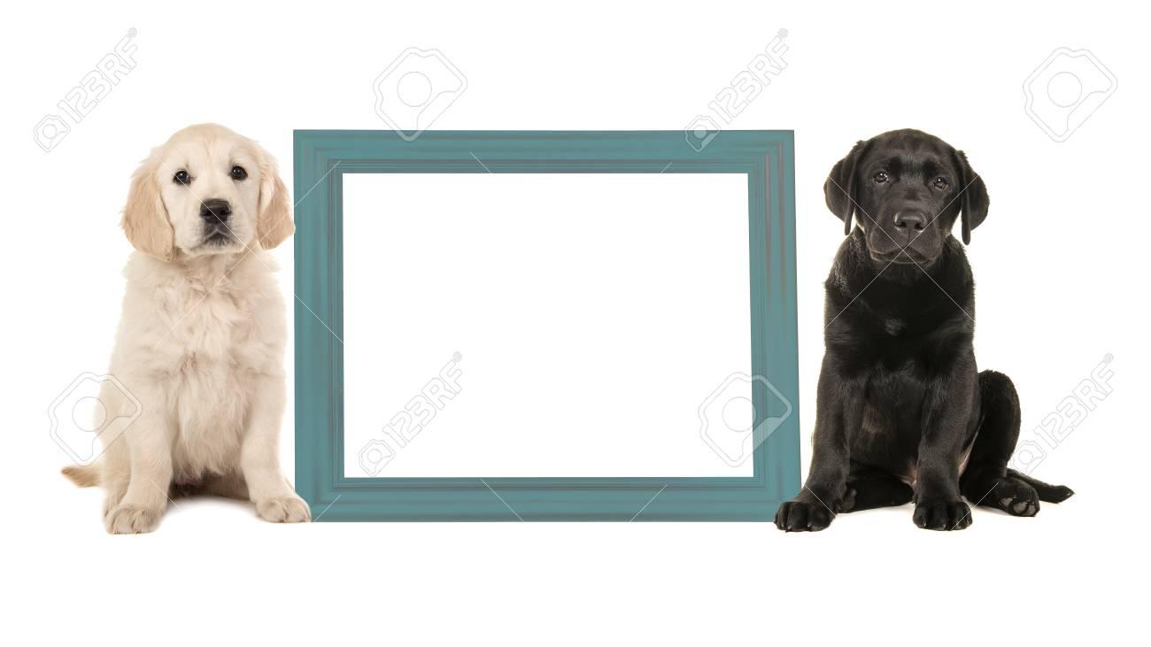 Black Labrador Puppy Dog And Golden Retriever Puppy Sitting Next