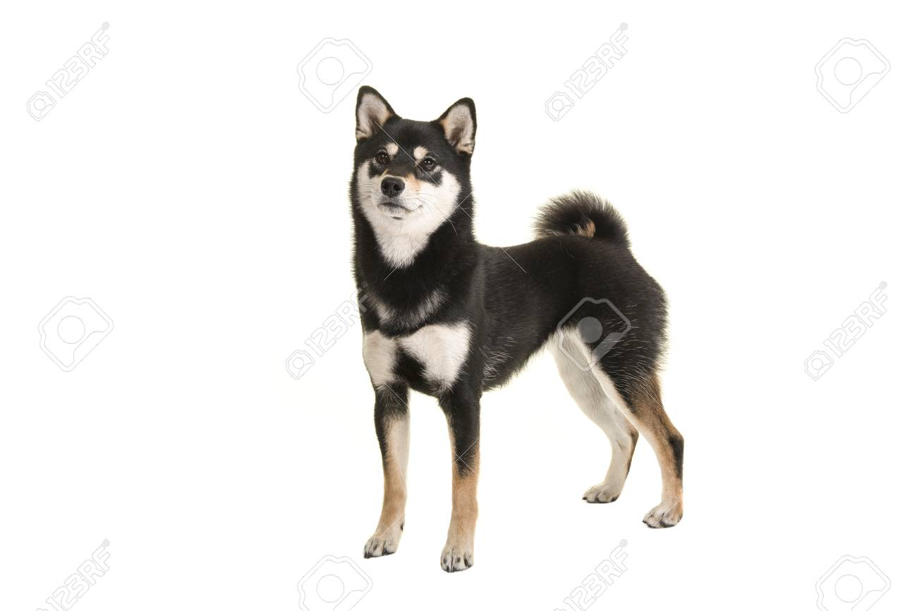 Black And Tan Standing Shiba Inu Dog Looking Up Isolated On A Stock Photo Picture And Royalty Free Image Image 81501216