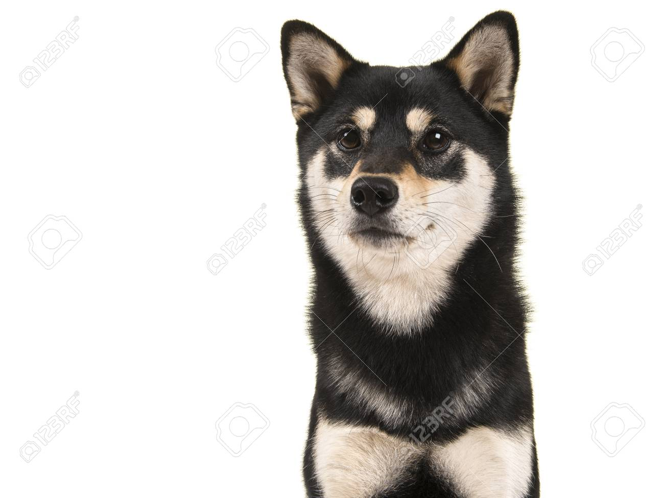 Black And Tan Shiba Inu Dog Portrait Isolated On A White Background Stock Photo Picture And Royalty Free Image Image 81501225