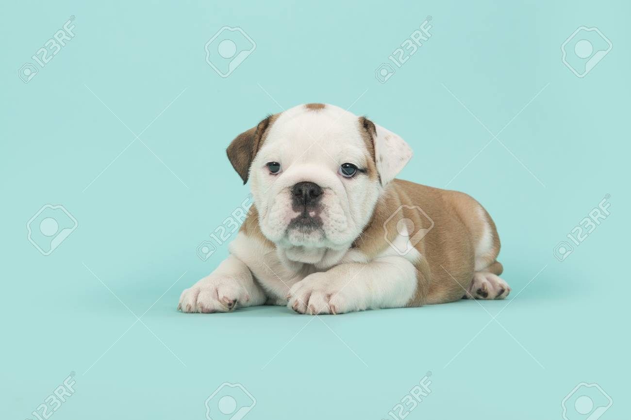 Brown And White English Bulldog Puppy Lying Down Looking At The Stock Photo Picture And Royalty Free Image Image 81651454
