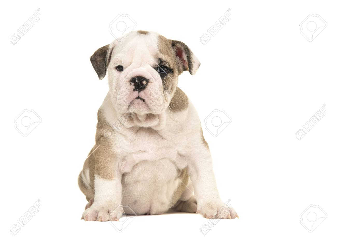 Brown and white english bulldog puppy sitting and looking at