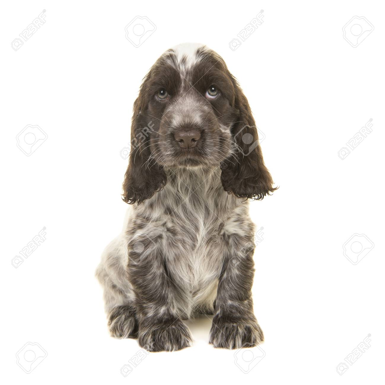 Cute Chocolate And White English Cocker Spaniel Puppy Dog Sitting Stock Photo Picture And Royalty Free Image Image 89119198
