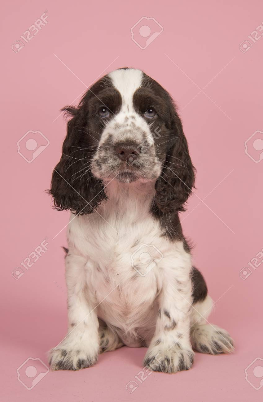 Cute Chocolate And White English Cocker Spaniel Puppy Dog Sitting Stock Photo Picture And Royalty Free Image Image 89119200
