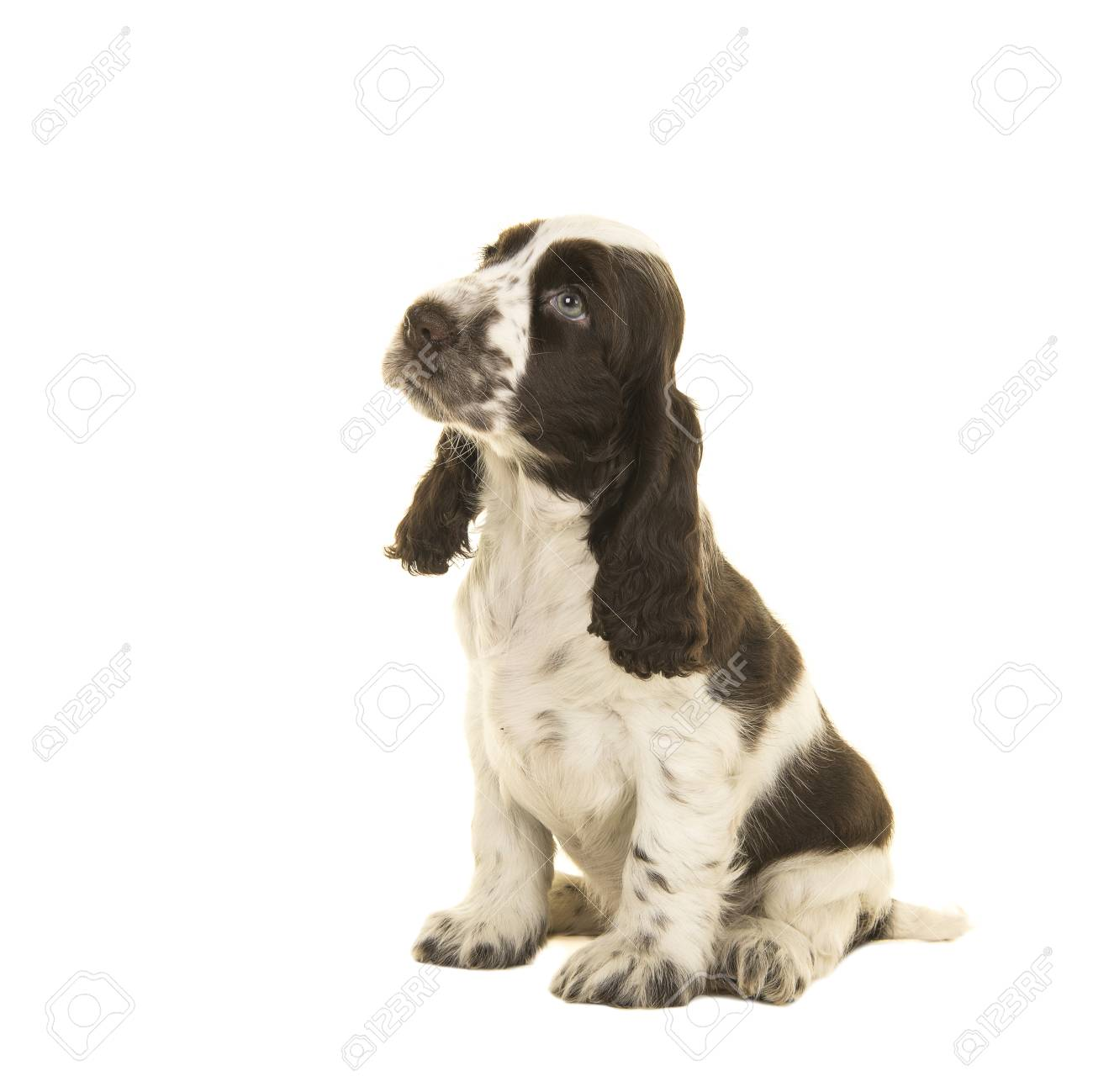 cute sitting white and chocolate brown cocker spaniel puppy dog