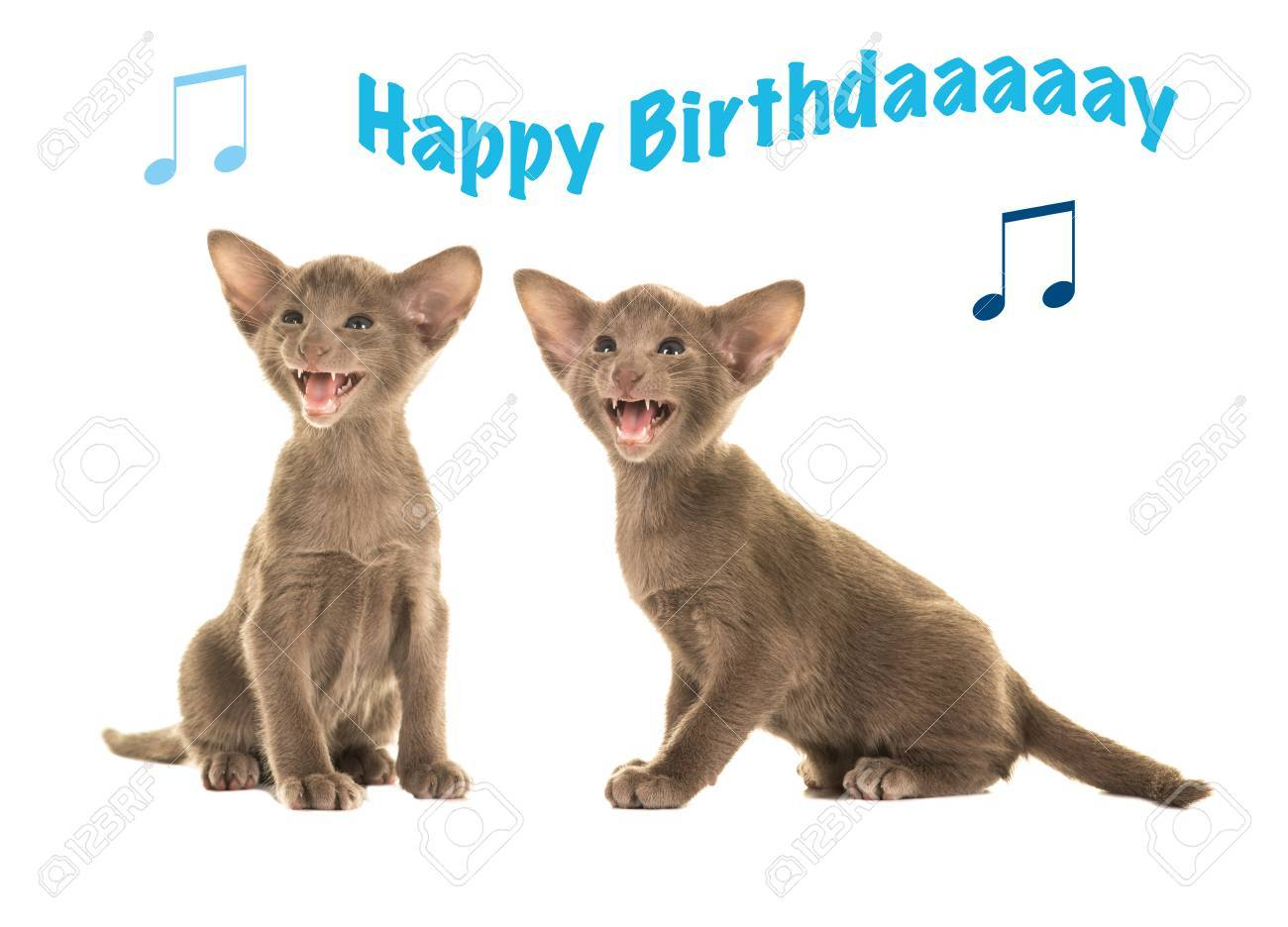 Happy Birthday Card With Two Grey Siamese Sitting Kittens Singing Stock Photo
