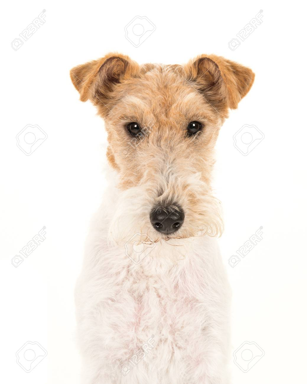 Adult Fox Terrier Dog Portrait Isolated On A White Background Stock ...