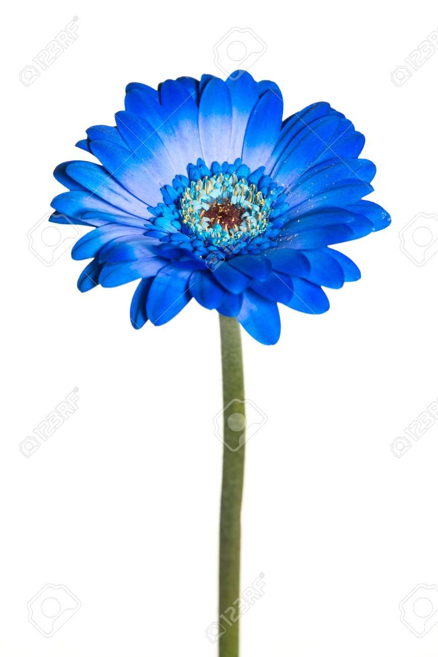 Fleur De Gerbera Bleu Avec Tige Isole Sur Fond Blanc Banque D Images