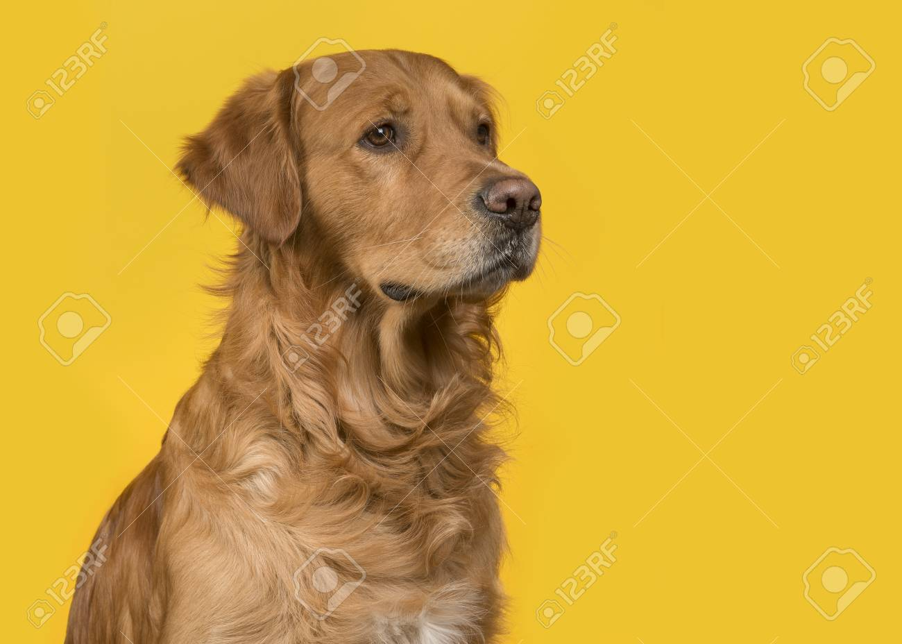 Portrait Of A Pretty Male Golden Retriever Dog Looking To The