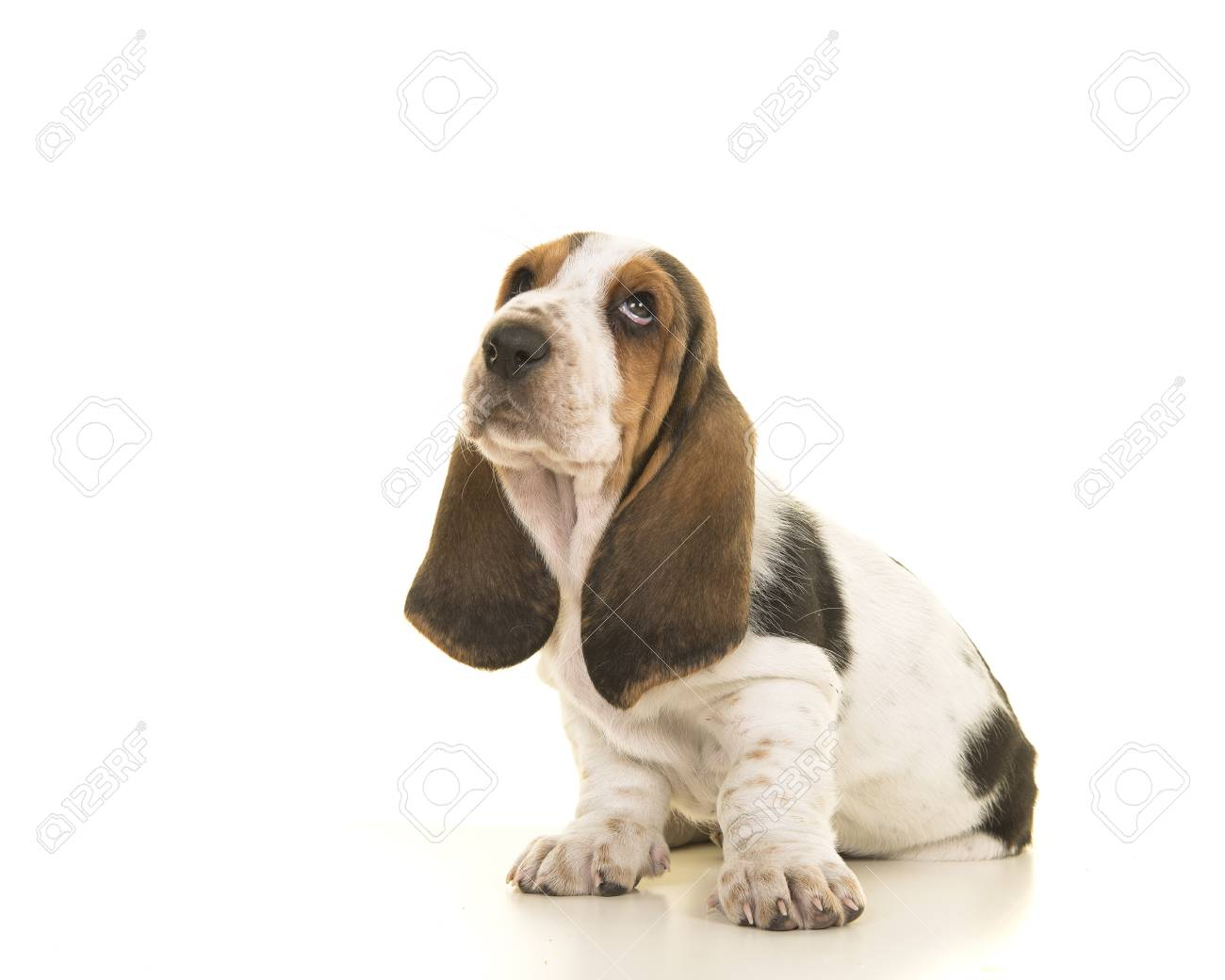 Cute Sitting Tricolor Basset Hound Puppy Looking Up Isolated Stock Photo Picture And Royalty Free Image Image 99629500