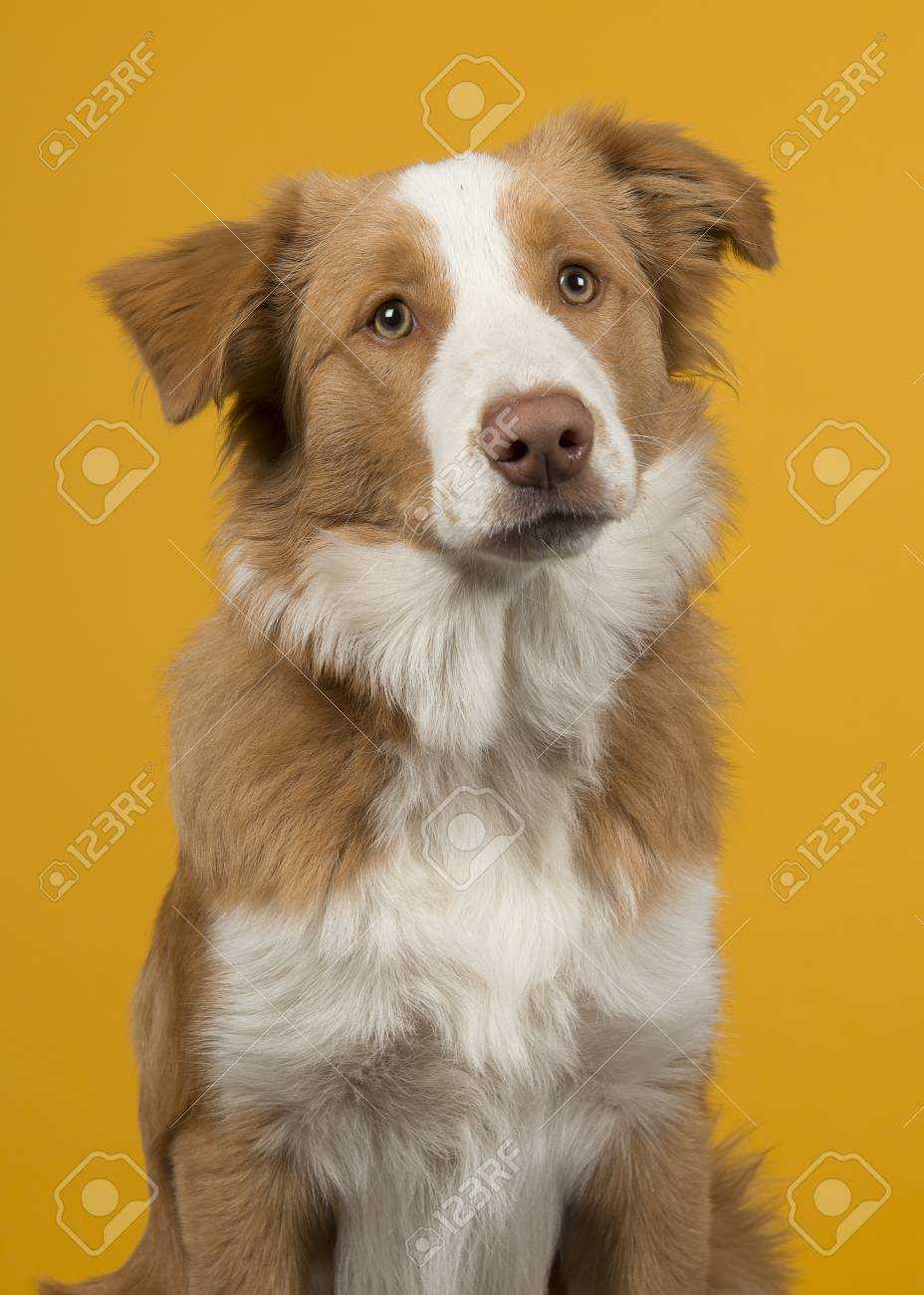 Portrait Of A Red Border Collie Dog On ...