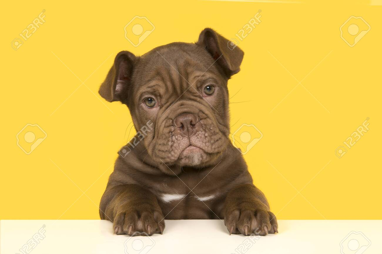 Cute Old English Bulldog Puppy Holding A White Board Looking Stock Photo Picture And Royalty Free Image Image 134566785