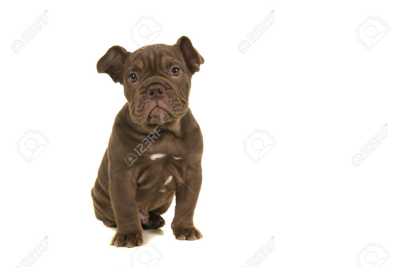 Cute Old English Bulldog Puppy Looking At Camera Sitting Isolated Stock Photo Picture And Royalty Free Image Image 134566790