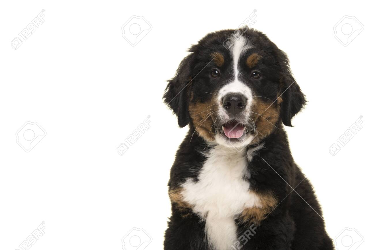 Portrait Of A Cute Bernese Mountain Dog Puppy Looking At The Stock Photo Picture And Royalty Free Image Image 135392603