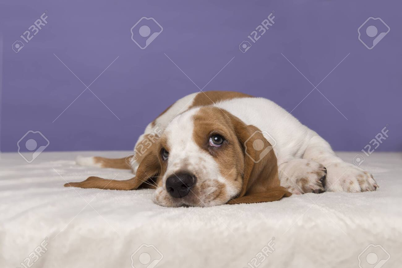 Cute basset hound puppy lying down looking up on a purple background - 135123828