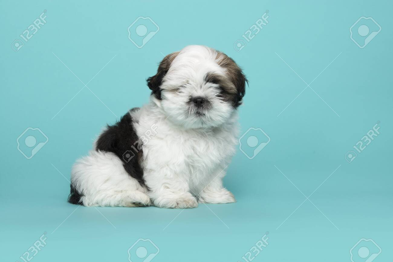 Shih Tzu Puppy Sitting On A Blue Background Stock Photo Picture And Royalty Free Image Image 137343375