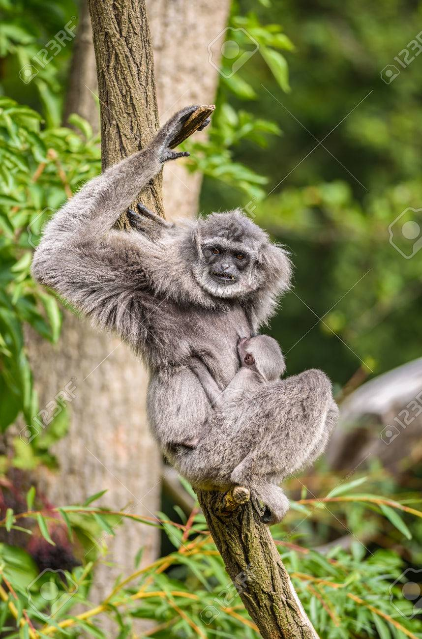 Silvery gibbon hylobates moloch with a newborn the silvery gibbon ranks among the