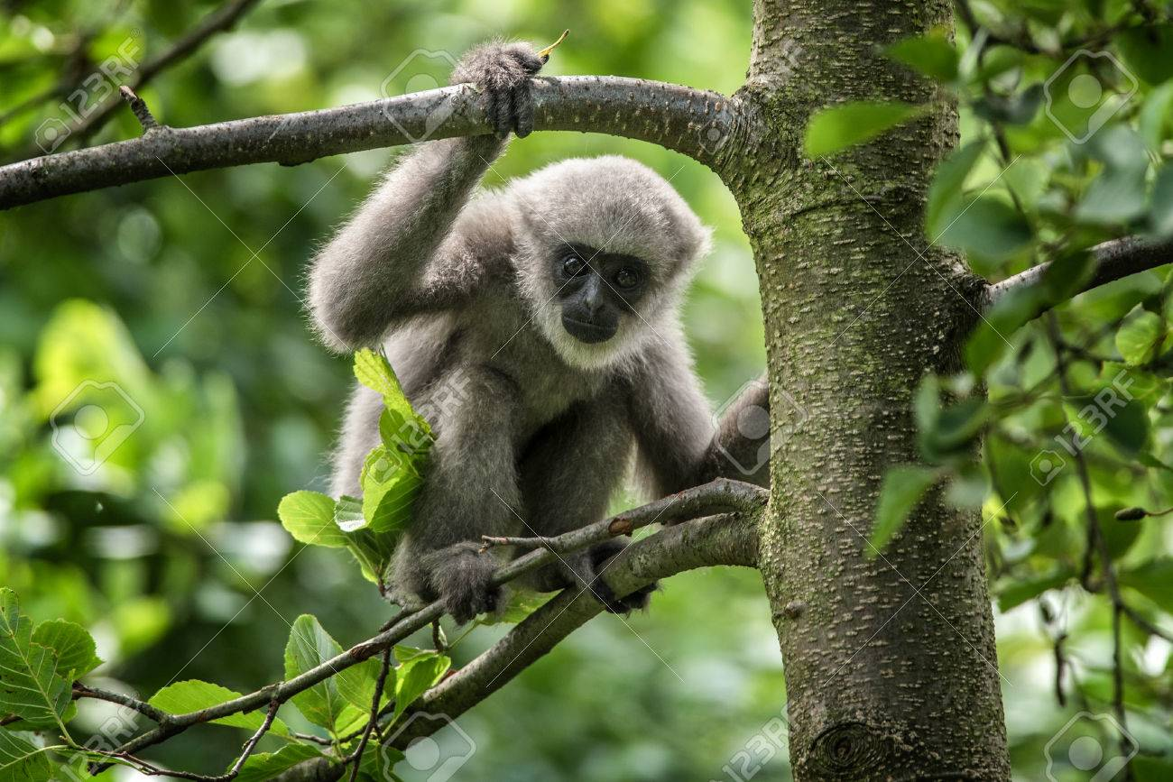 Stock photo young silvery gibbon hylobates moloch the silvery gibbon ranks among the most threatened species