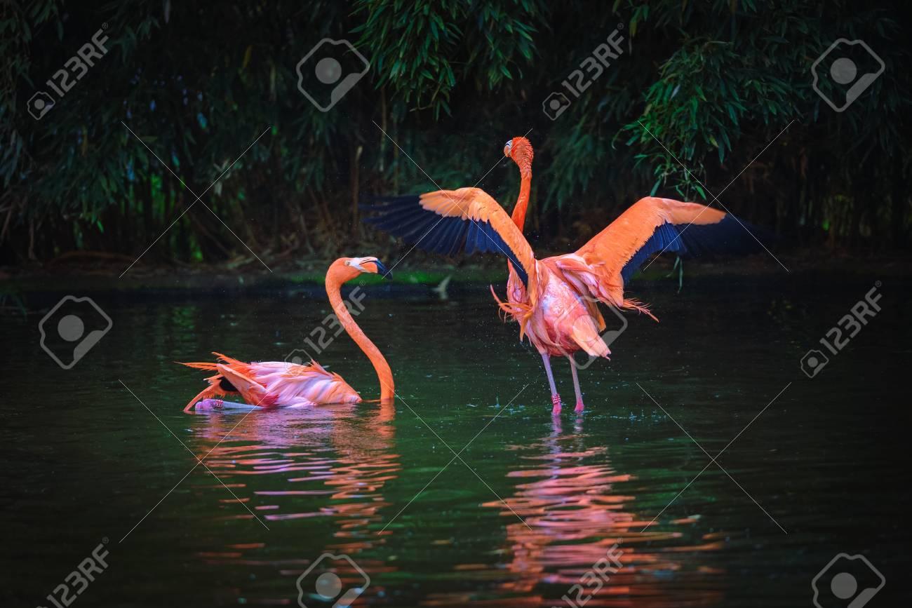 Two Caribbean Flamingos in a lake - 106230106
