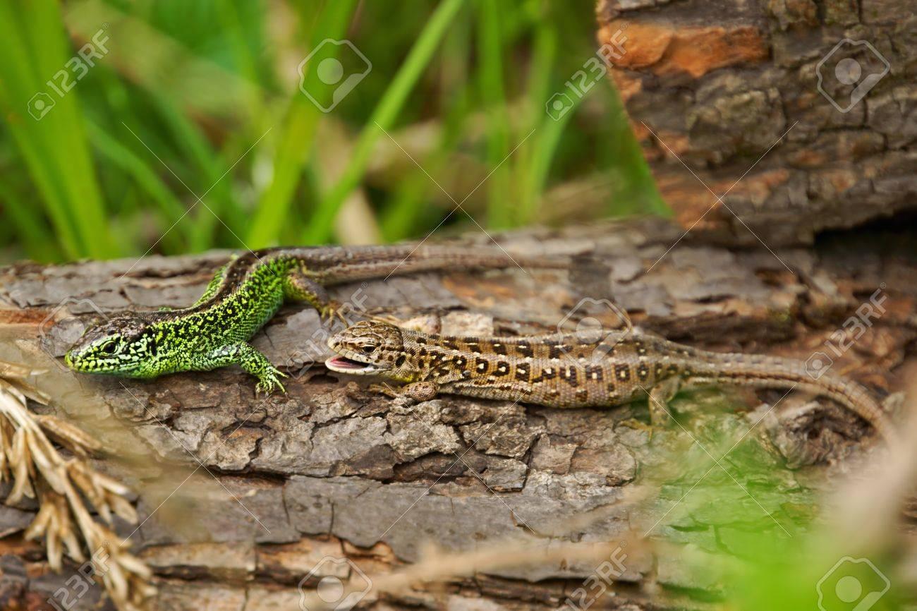 カナヘビ オスメス