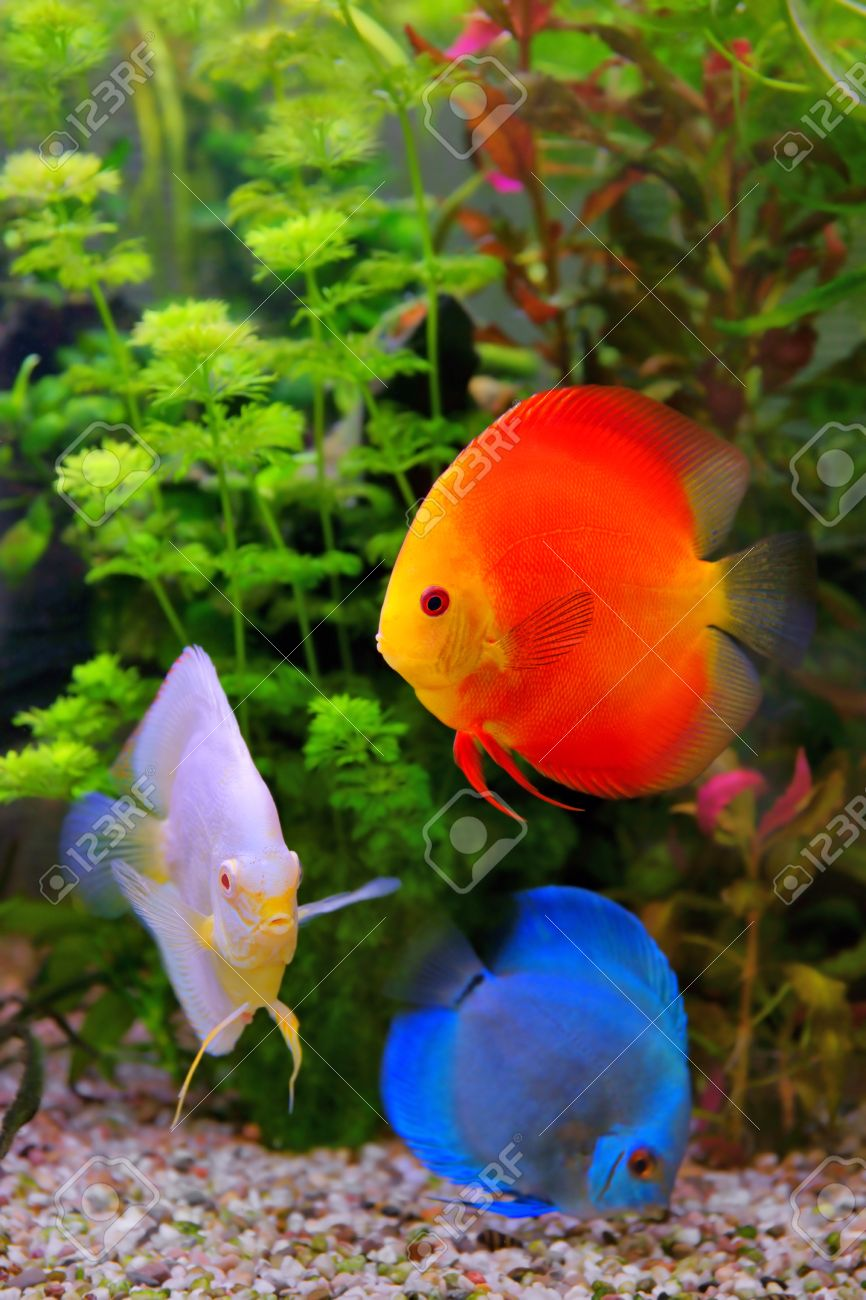 Colorful fish for aquarium freshwater - Discus Symphysodon Multi Colored Cichlids In The Aquarium The Freshwater Fish Native To