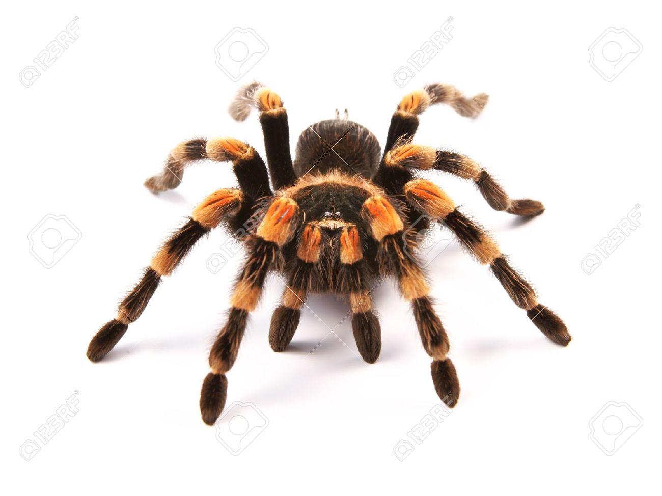 Mexican Redknee Tarantula Brachypelma Smithi Spider Female Stock Photo