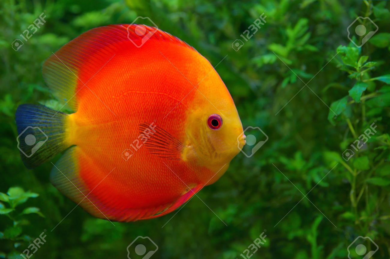 Discus Symphysodon , Red Cichlid In The Aquarium, The Freshwater ...