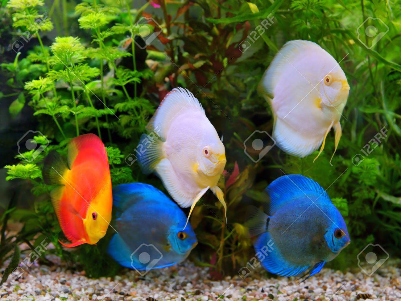 Freshwater aquarium fish cichlids - Discus Symphysodon Multi Colored Cichlids In The Aquarium The Freshwater Fish Native To