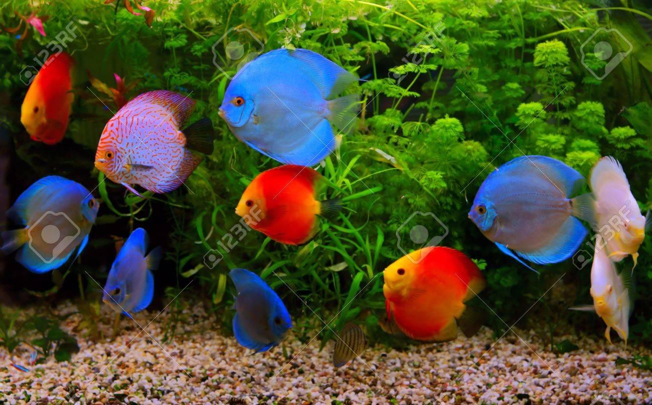 Discus Symphysodon , Multi-colored Cichlids In The Aquarium,.. Stock ...
