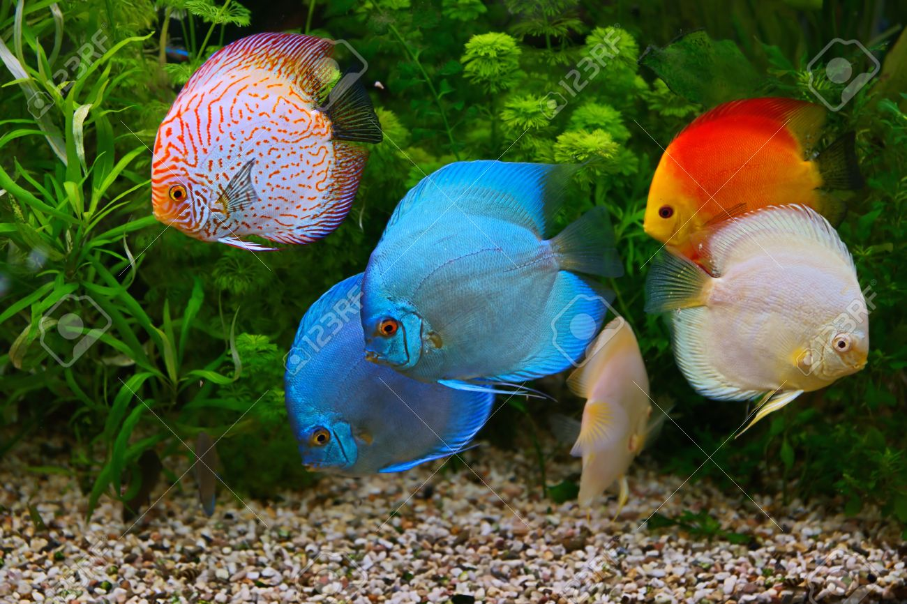 Freshwater fish amazon - Discus Symphysodon Multi Colored Cichlids In The Aquarium The Freshwater Fish