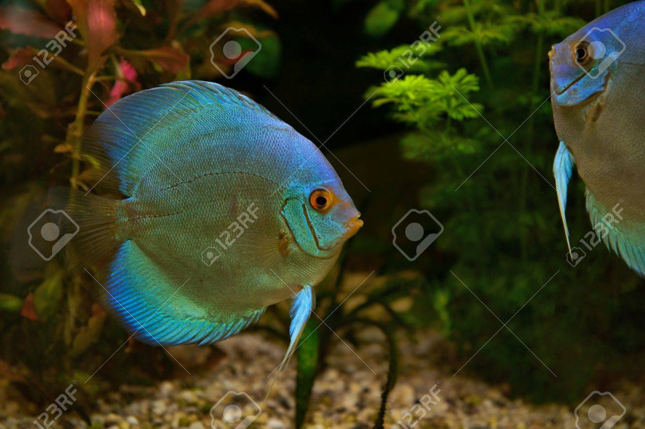 Freshwater fish amazon - Discus Symphysodon Cichlids In The Aquarium The Freshwater Fish Native To The Amazon River