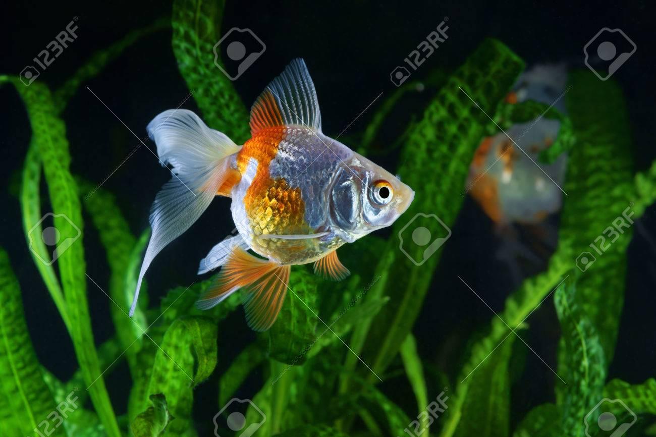 Goldfish, Aquarium, A Fish On The Background Of Aquatic Plants Stock ...
