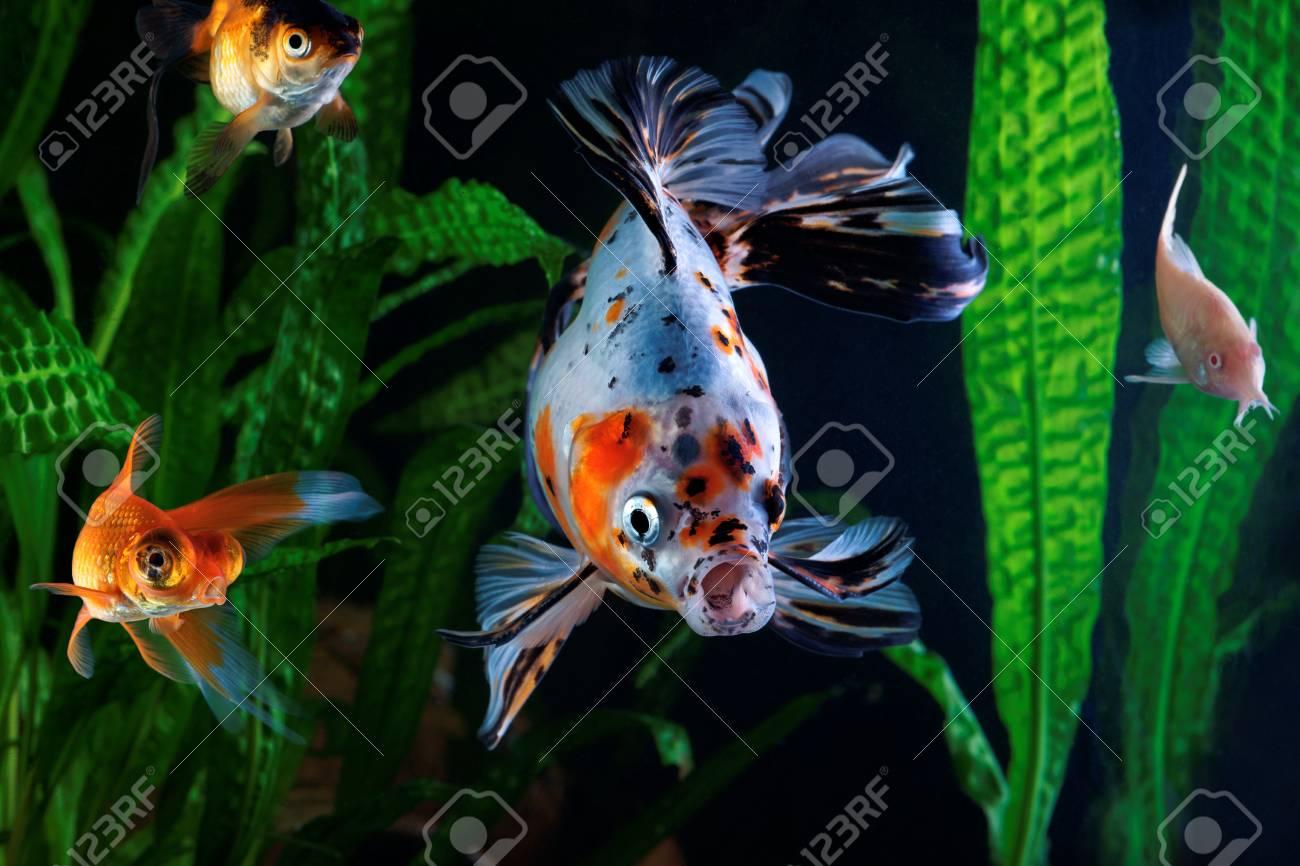 Goldfish, Aquarium, A Group Of Fish On The Background Of Aquatic ...