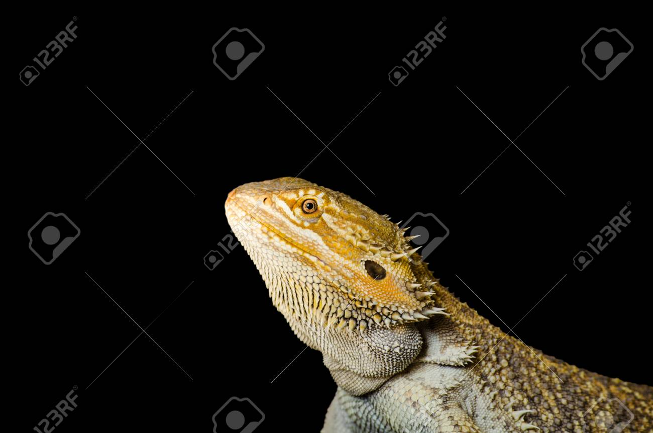 bearded dragon from its side, exotic pet reptile resting, isolated