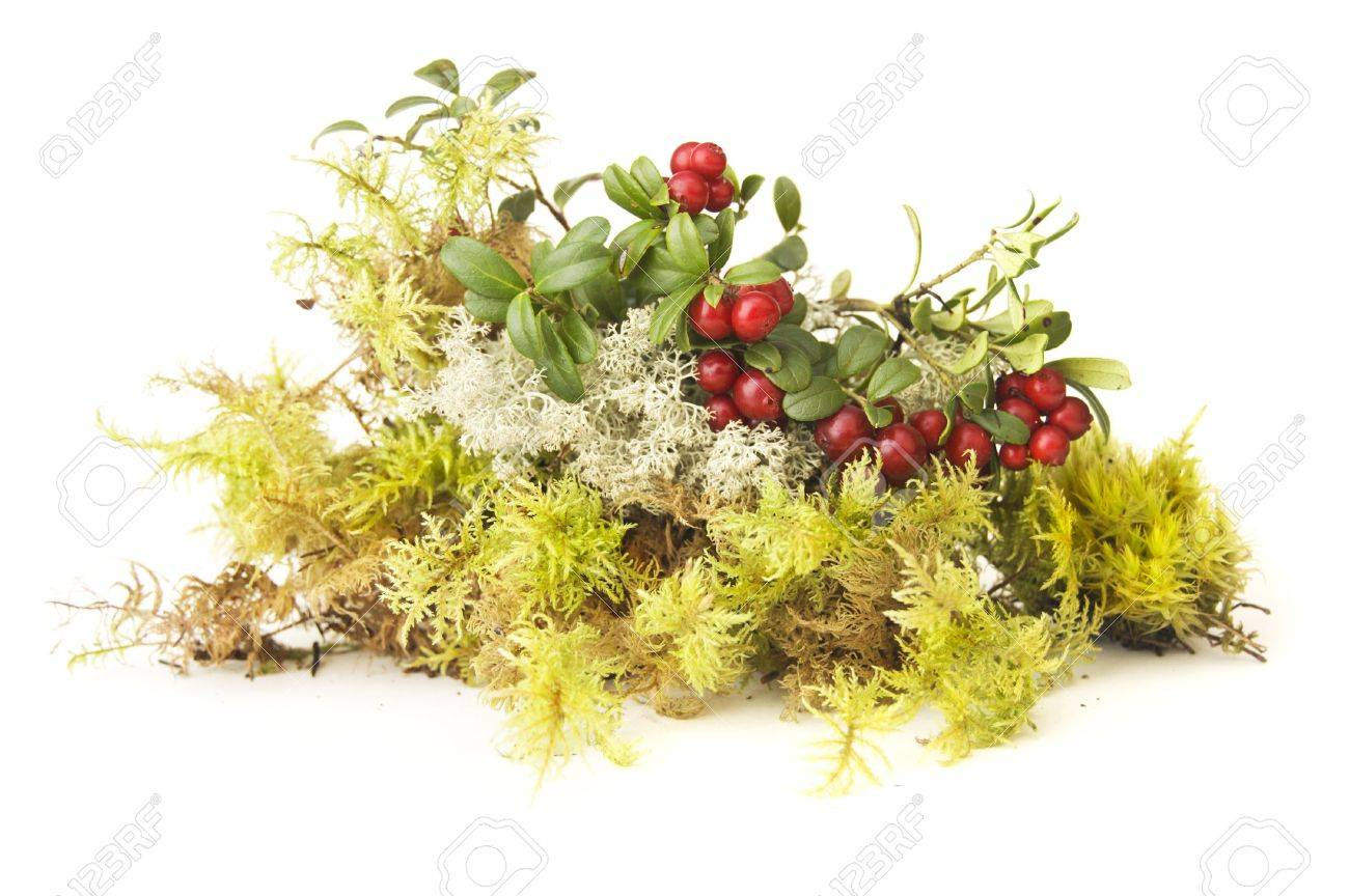 Banque d images - Composition automne de différent type de plante moss et  foxberry 03e4e6db5a82