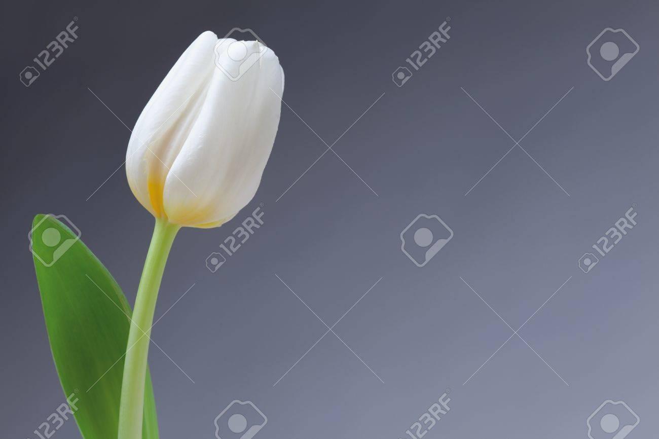 Seule Tulipe Blanche Sur Le Cote Gauche De Fond Bleu Avec Une Fleur