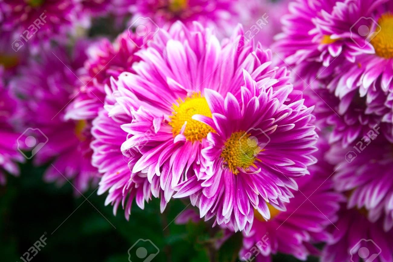 Schöne Lila Rosa Chrysantheme Als Hintergrundbild Chrysantheme