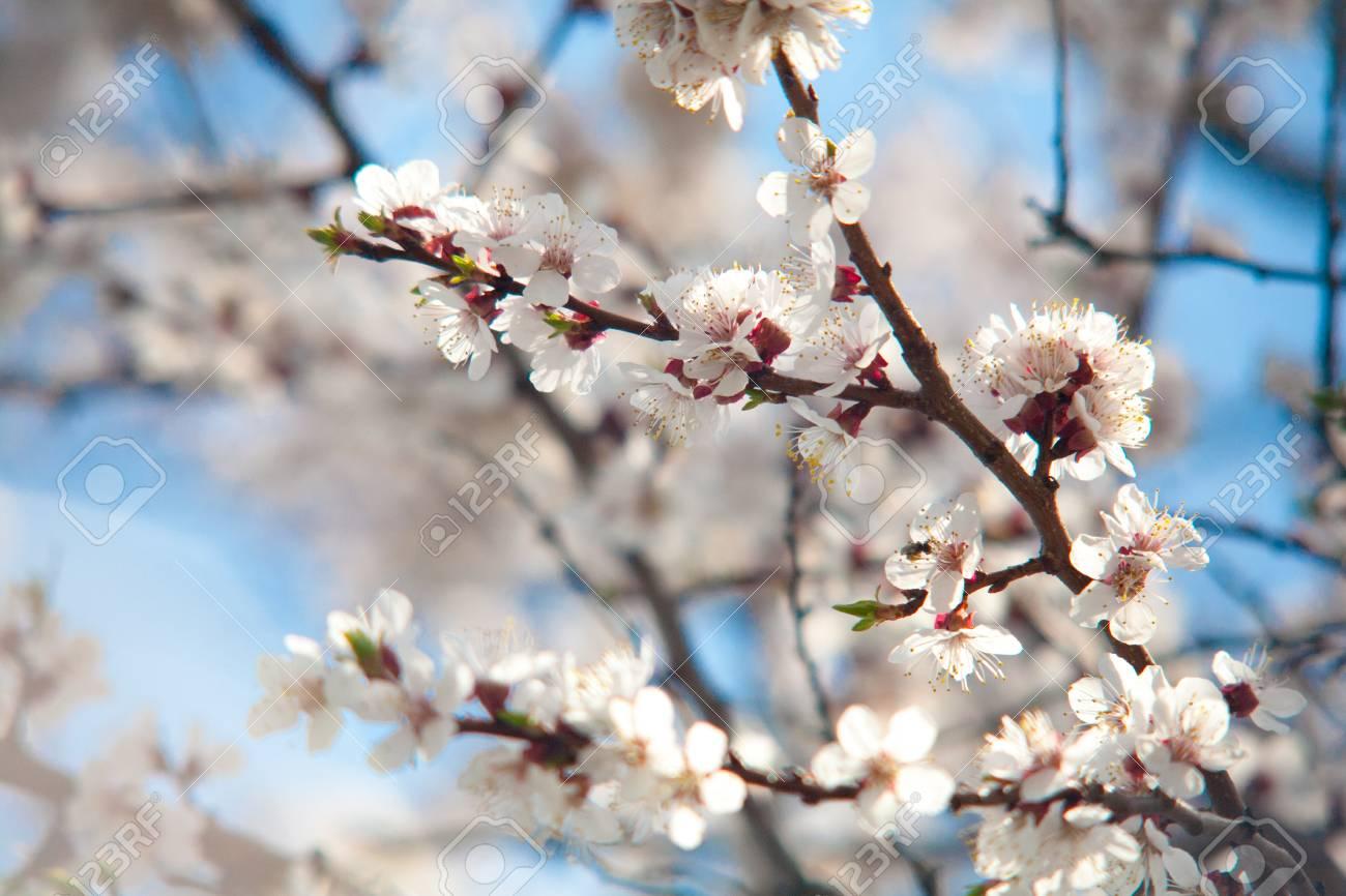 Cherry Apple Pear Peach Plum Tree Bloom Branch Of A Purple Leaf