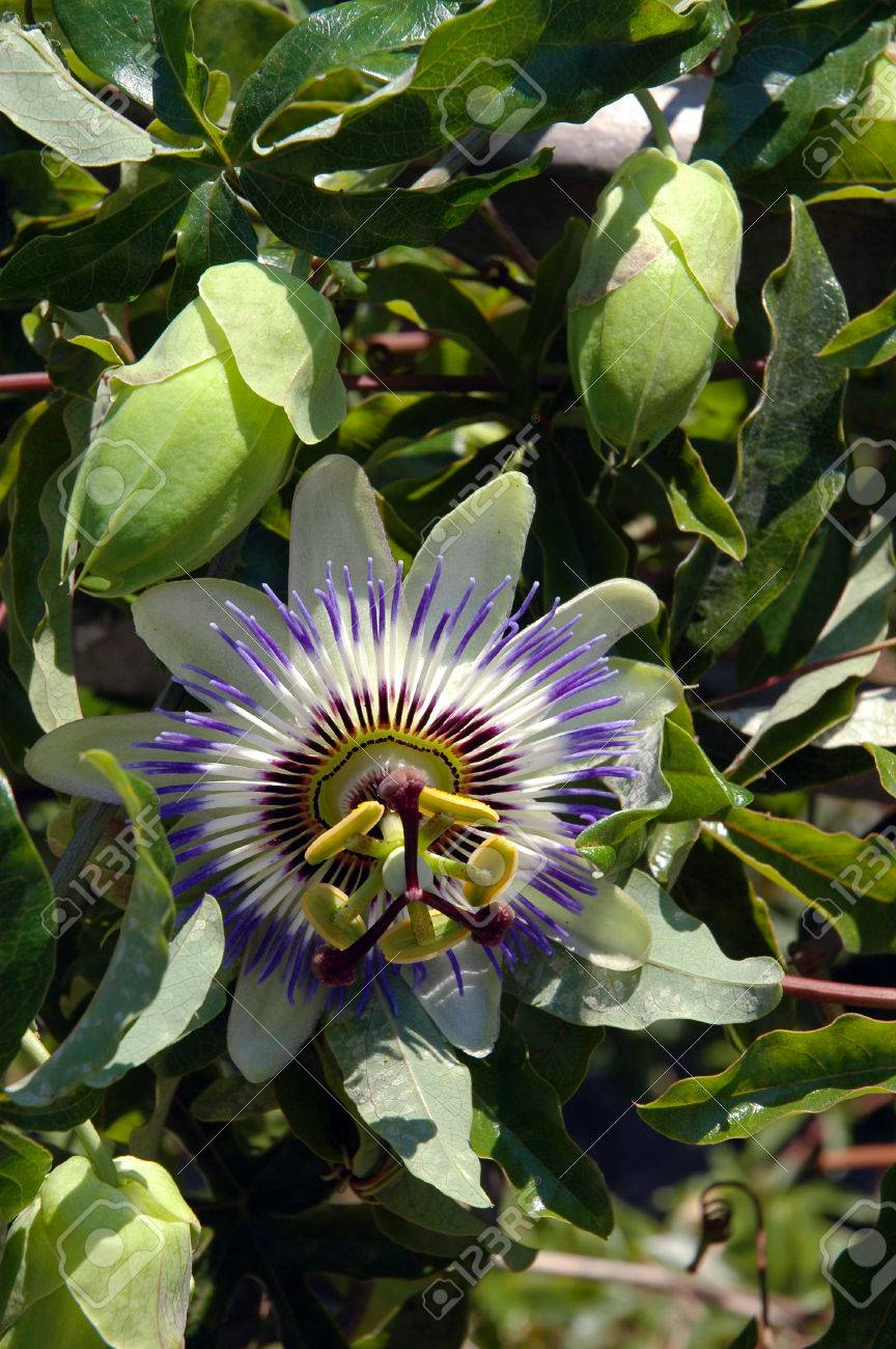 Close Up Of Blue Passion Flower With Buds Stock Photo Picture And