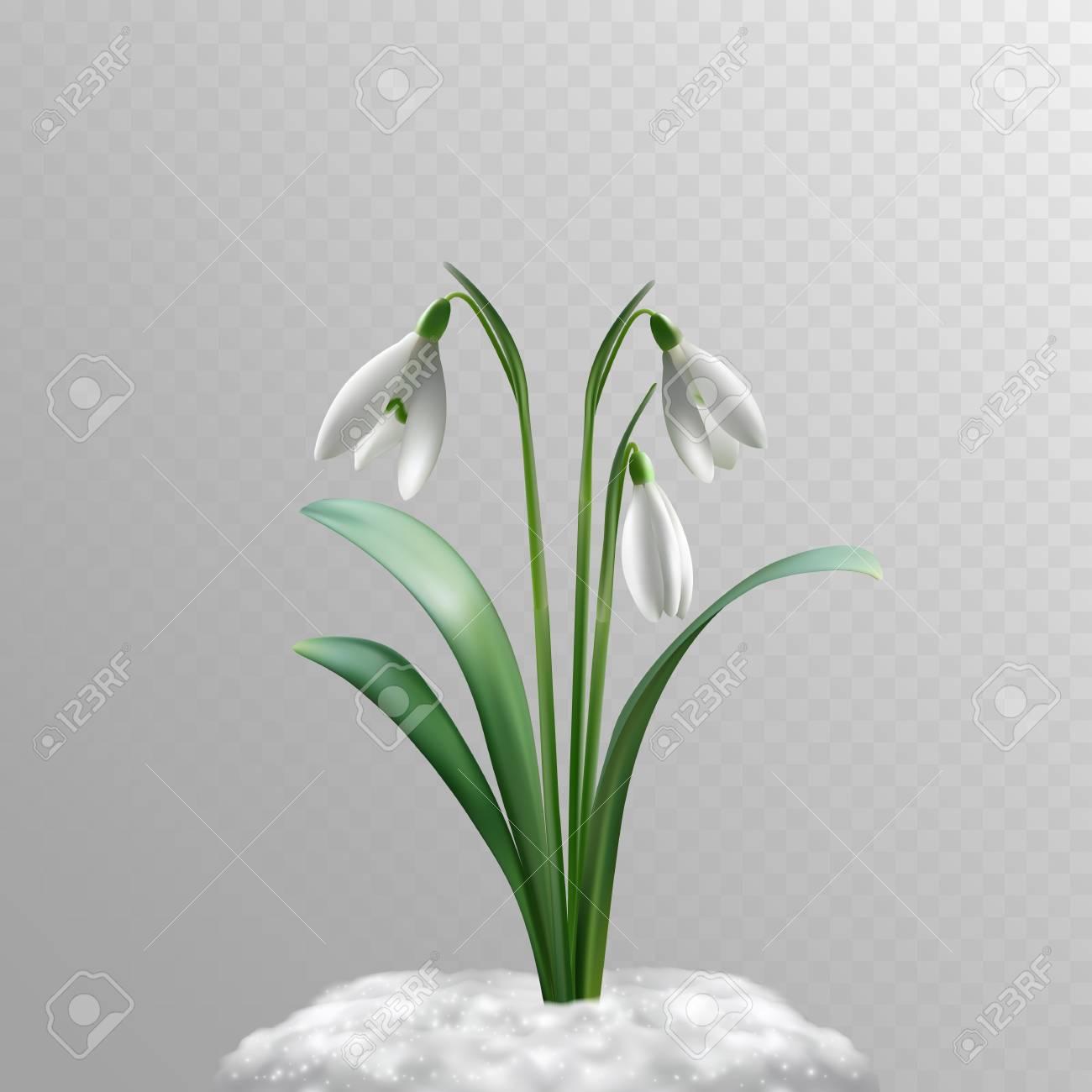 Vector Fotorealistische Schneeglockchen Auf Einem Transparenten