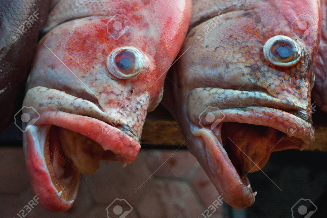 Portrait Muzzle Pair Redsnepper Delicate Pink Color, Open Jaws ...