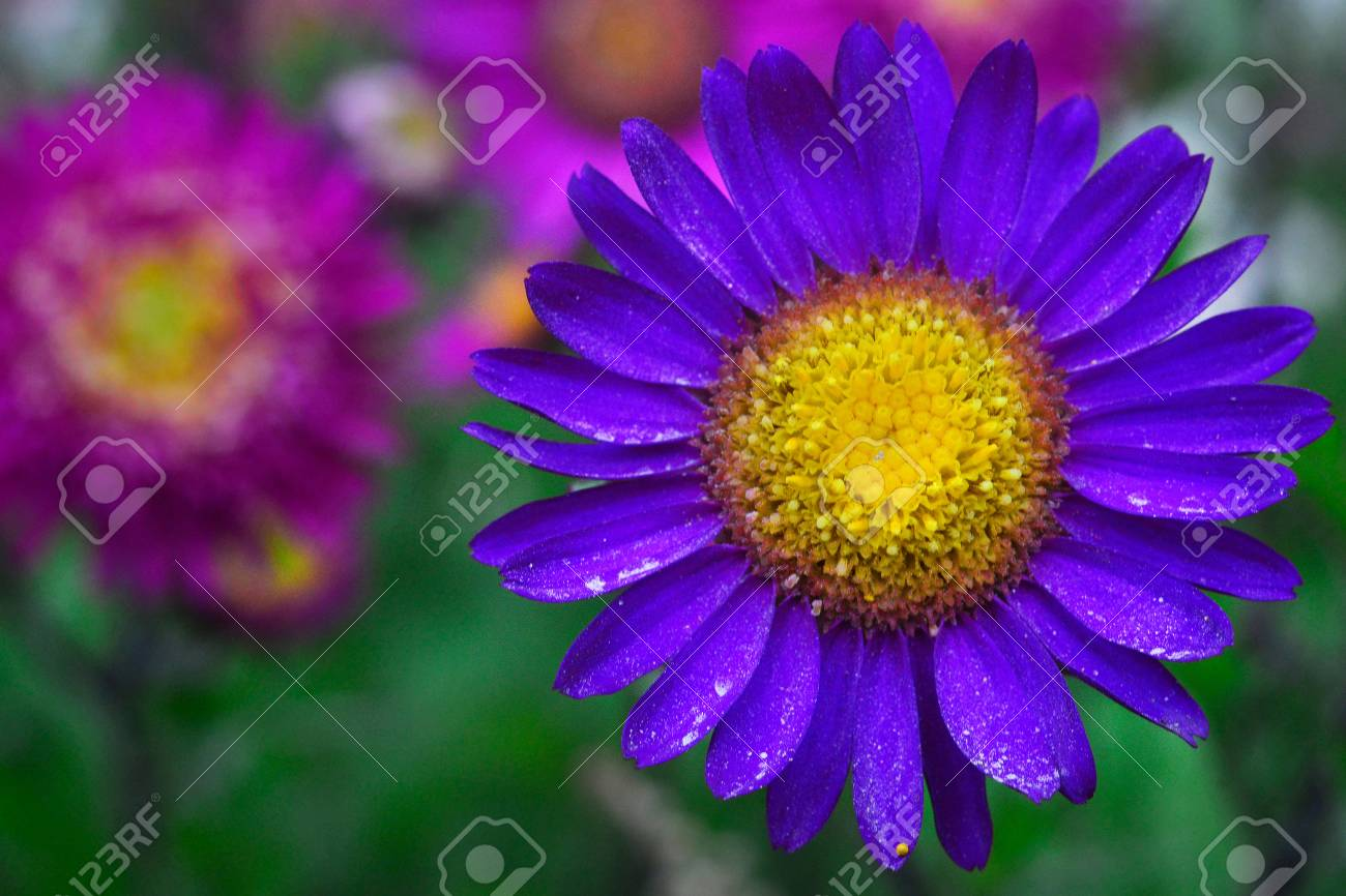 A bright purple flower with leaves on which there is little pollen a bright purple flower with leaves on which there is little pollen and a yellow mightylinksfo