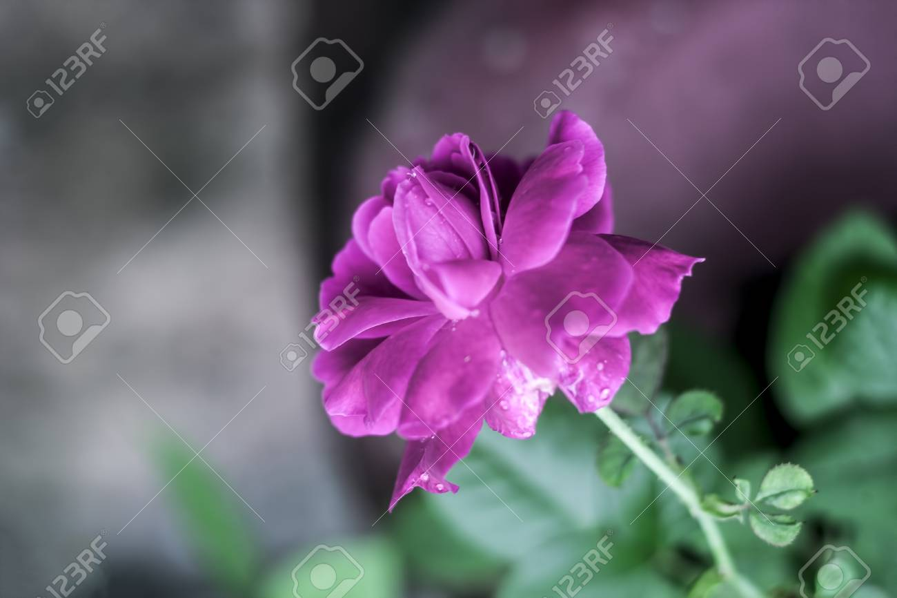 Rose flower a symbol of love care stock photo picture and rose flower a symbol of love care stock photo 79070095 biocorpaavc Images