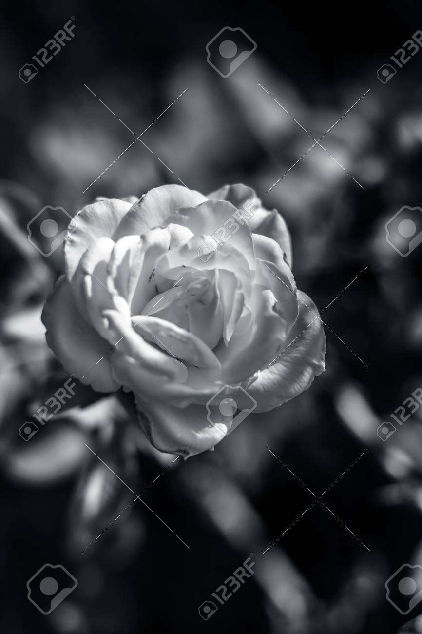 Rose Flower A Symbol Of Love Affection Stock Photo Picture And