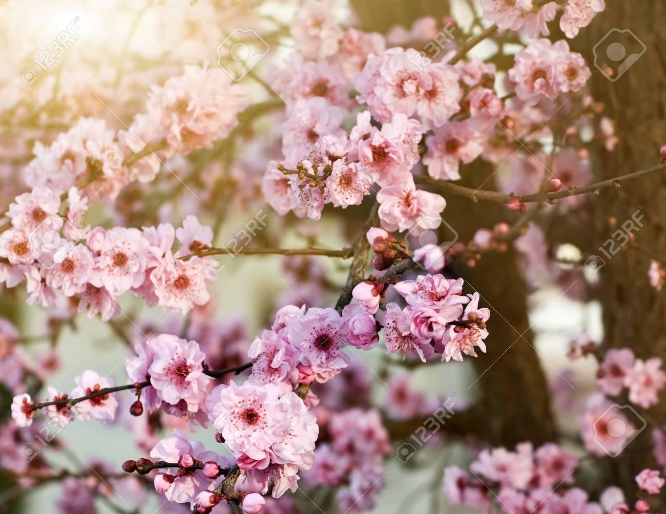 Spring cherry blossoms, shallow DOF Stock Photo - 4329718