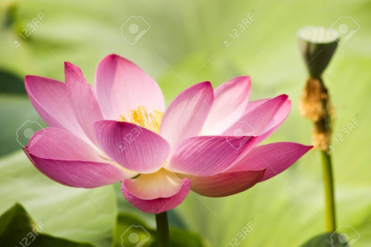 pink water lily with shallow depth of field Stock Photo - 9505968