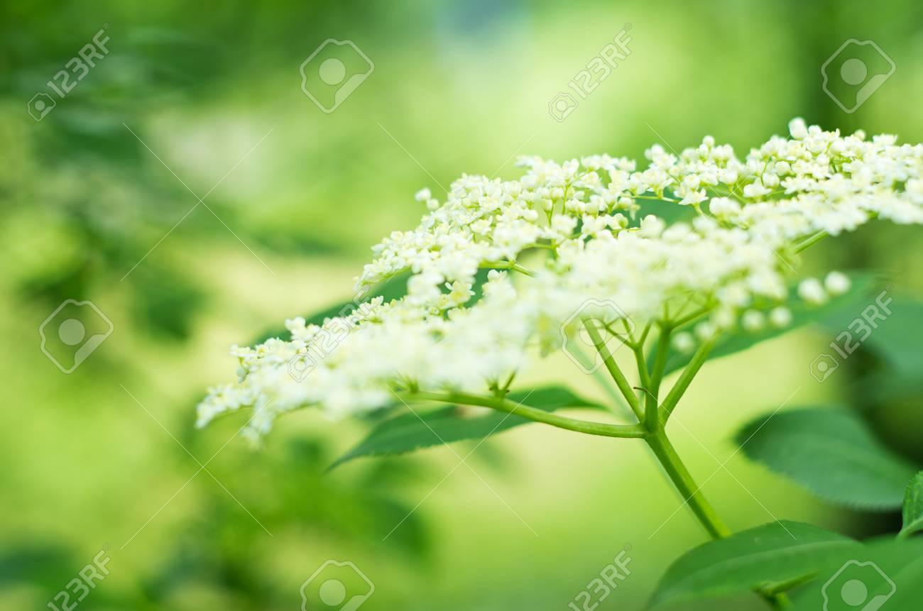 elderflower with shallow depth of field - 13819826