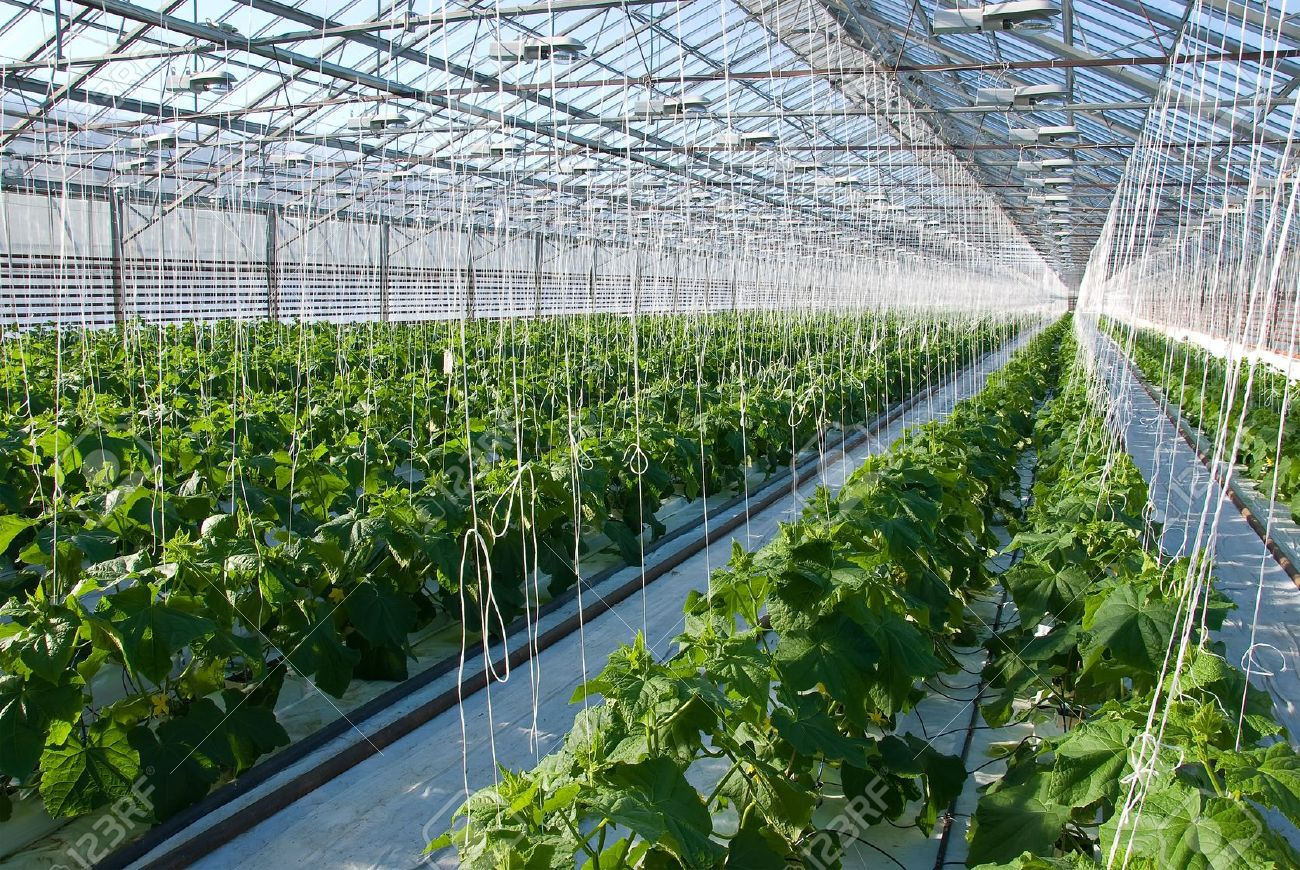 A shot of cucumber plants growing inside a greenhouse - 18435978