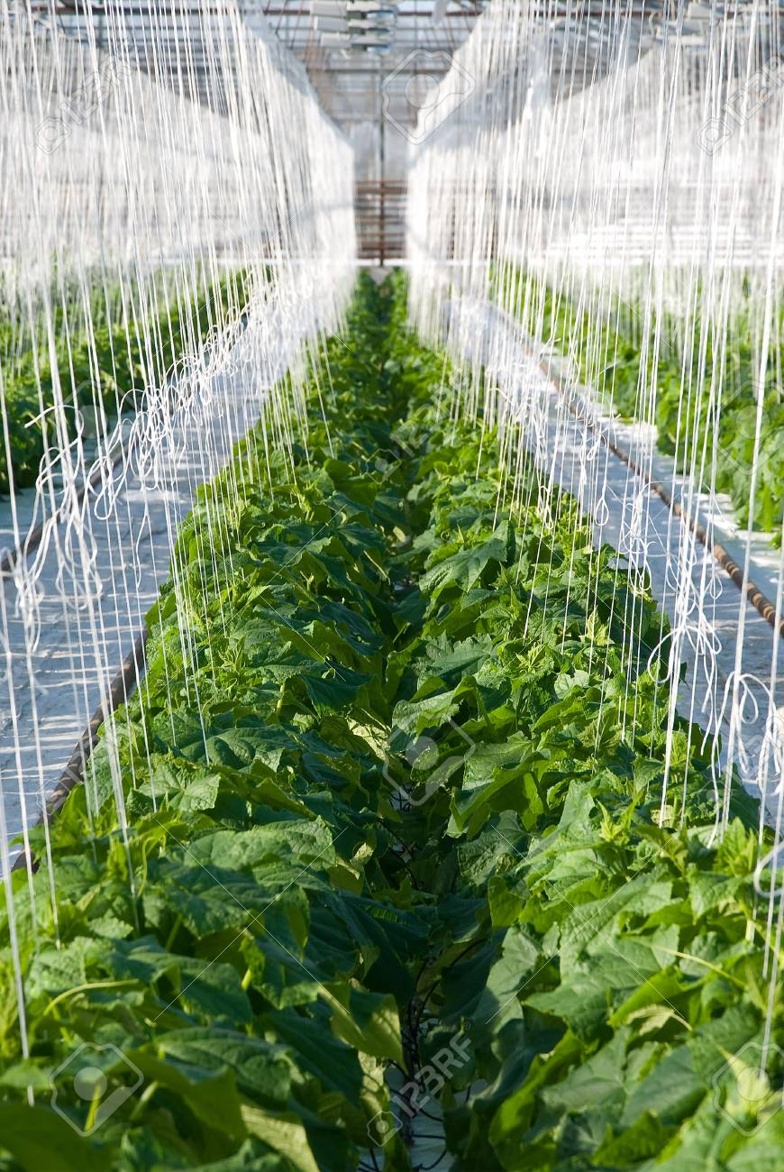 A shot of cucumber plants growing inside a greenhouse - 20708231