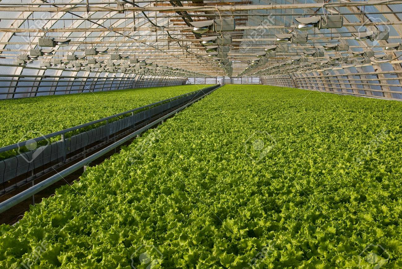 Covered greenhouse with two beds of lettuce - 25292270