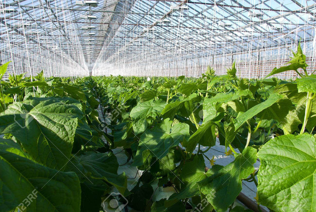 A shot of cucumber plants growing inside a greenhouse - 25301056